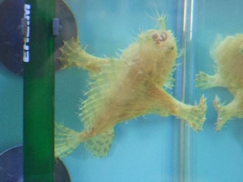 カエルアンコウは、「隙間好き」2