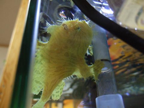 カエルアンコウは、「隙間好き」3