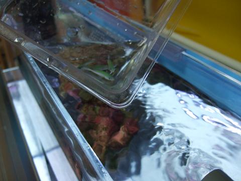 デバスズメを立ち上げ中の水槽に移します。