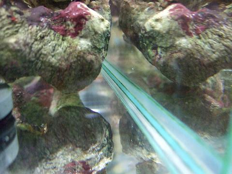 シッタカ貝(コイソ貝かも?)のおかげで苔がなくなった水槽