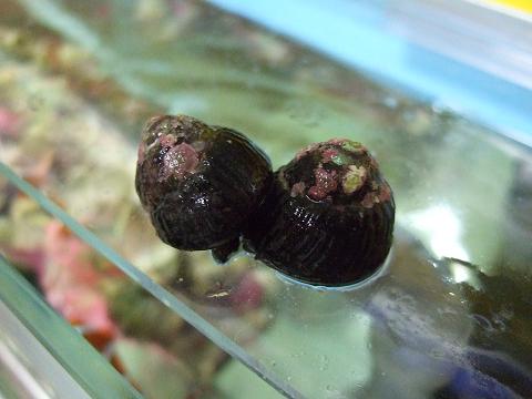 シッタカ貝orコイソ貝