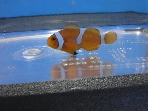 カクレクマノミ淡水浴中