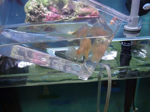移動のためのプラケース(小)に入ったカエルアンコウ