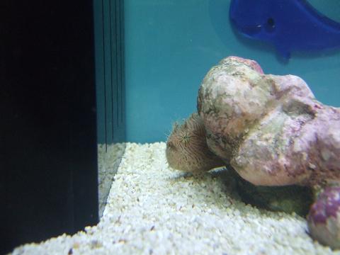 ライブロックレプリカに隠れているカエルアンコウ
