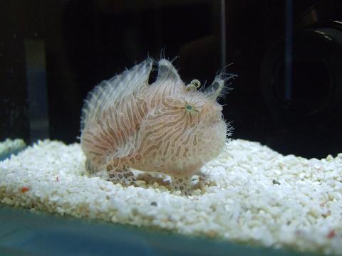 水槽内を偵察するカエルアンコウ