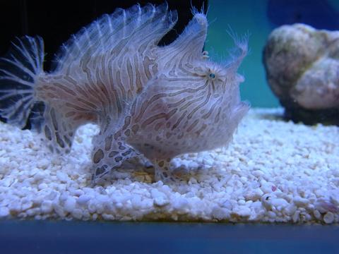 海水を吐き出すカエルアンコウ