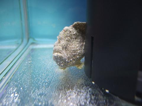 カエルアンコウを水槽に移しました。