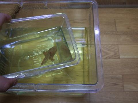 カエルアンコウをプラケース(小)で捕獲