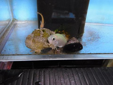 カエルアンコウの射程距離に入ったメダカ