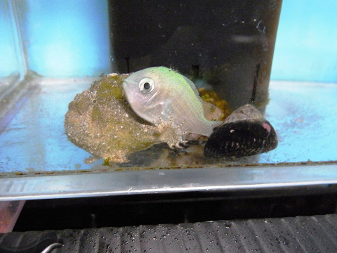 デバスズメと仲良しのカエルアンコウ
