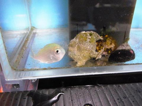 カエルアンコウの射程距離に入ったデバスズメ